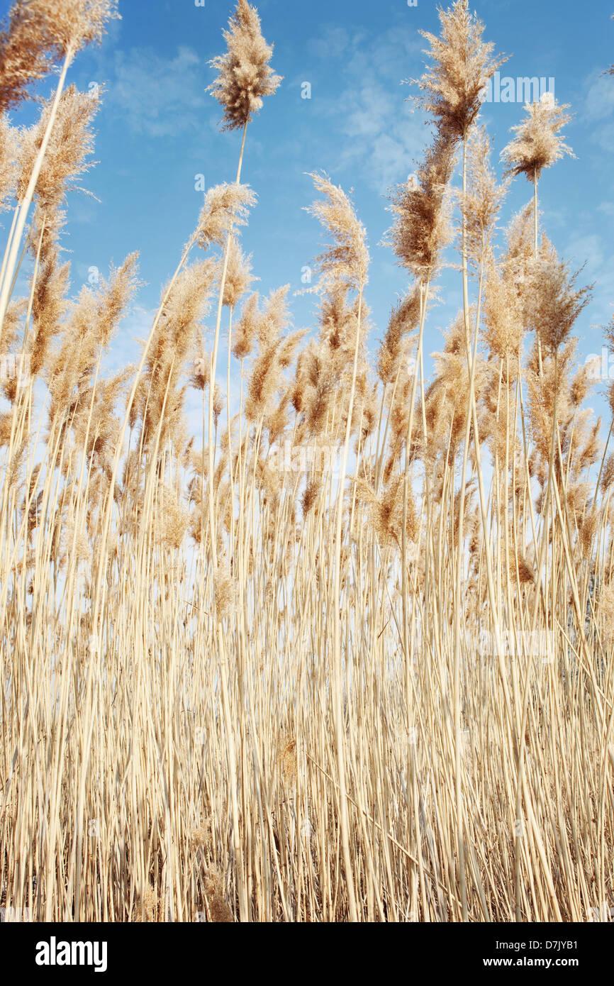 Cierre de ángulo bajo el trigo Imagen De Stock