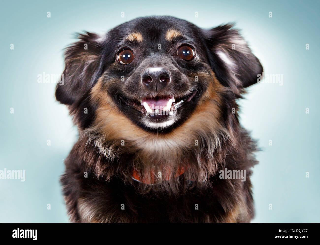 Teckel chihuahua MIX BREED perro mirando a la cámara. Foto de stock