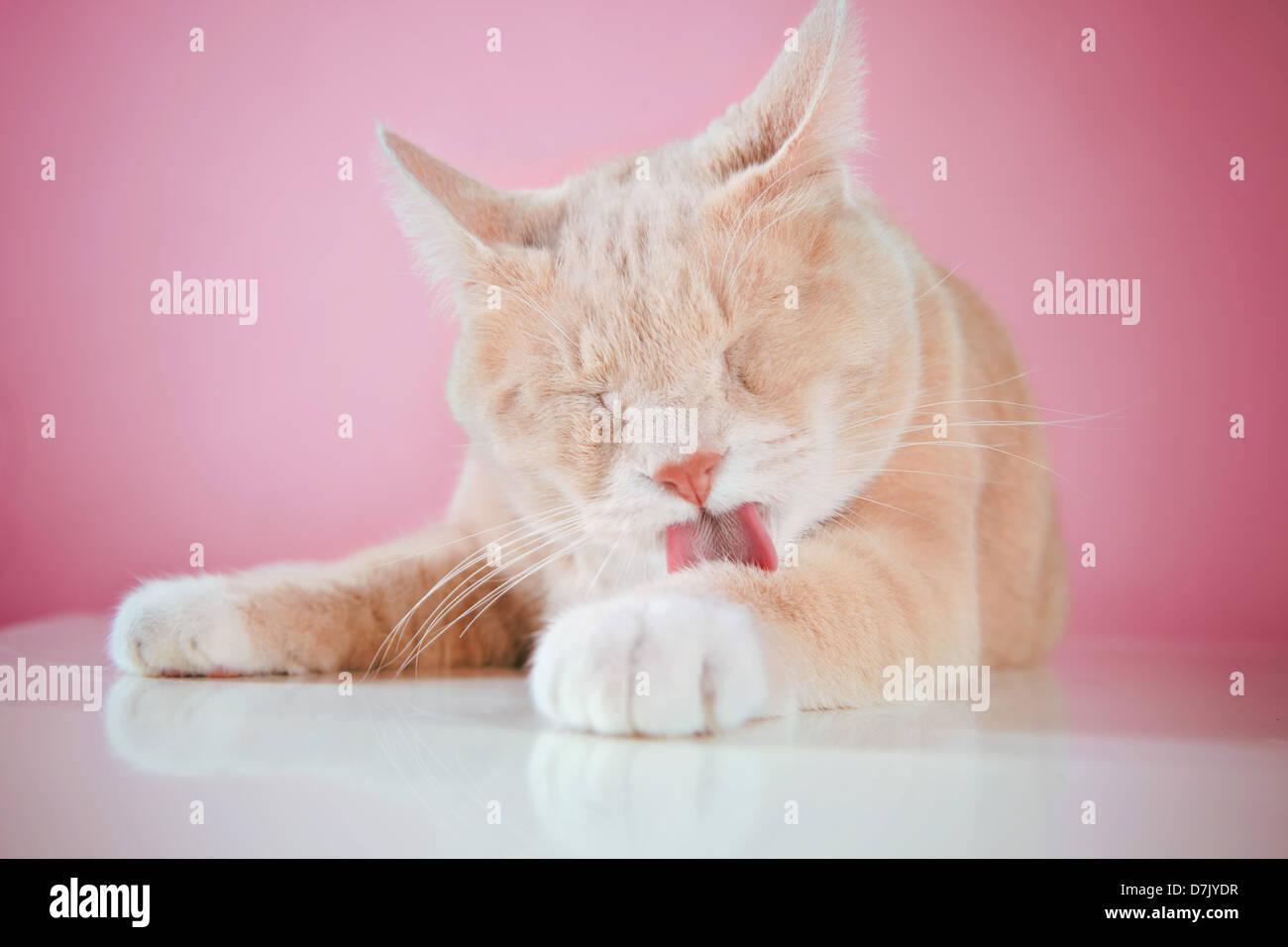 Feliz gato lamiendo las patas contra pink estudio telón de fondo Imagen De Stock