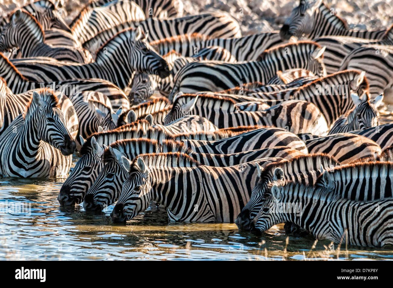 Rebaño o dazzle de Burchell's cebras, Equus burchellii, bebiendo en el Okaukuejo waterhole, de Etosha, Imagen De Stock