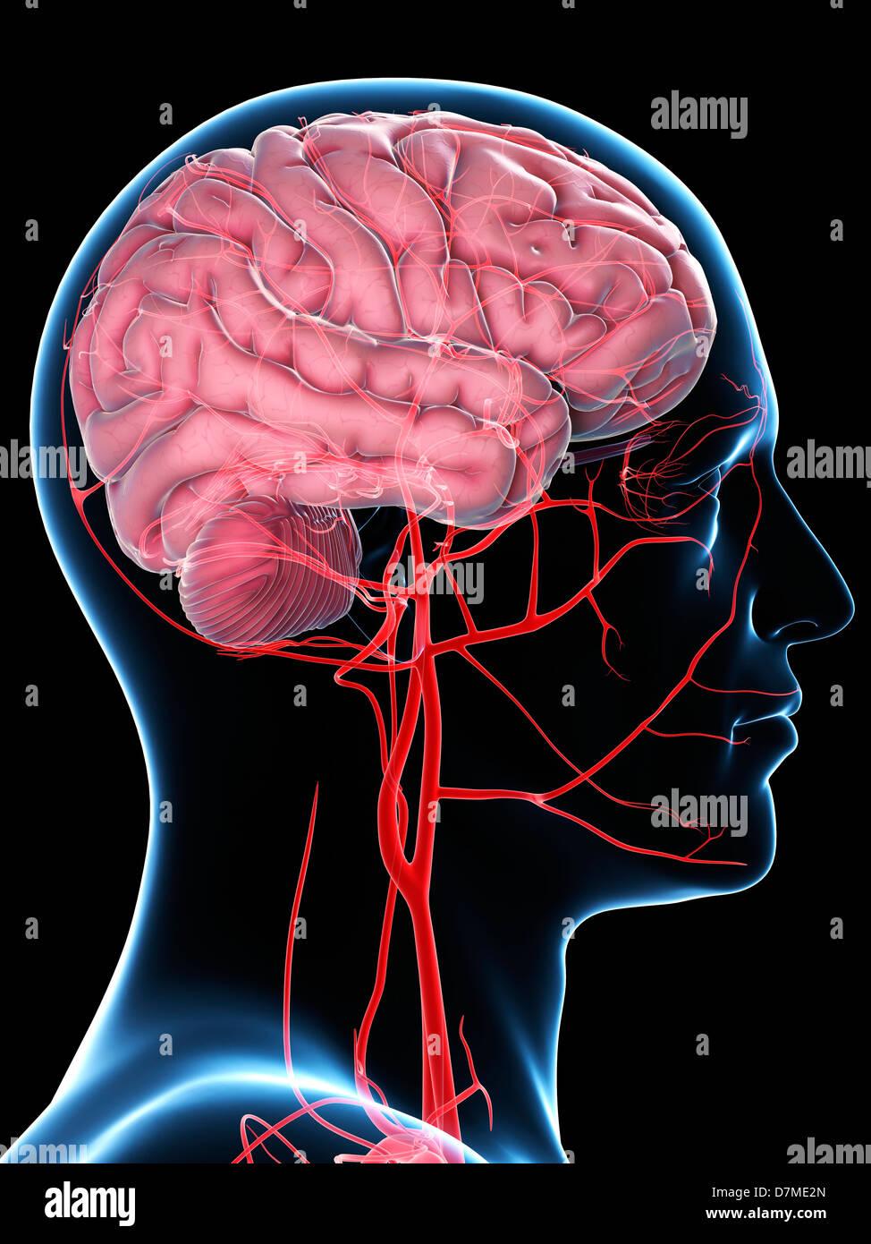 Body Blood Supply Imágenes De Stock & Body Blood Supply Fotos De ...