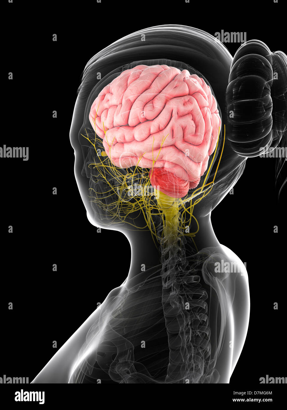 Cerebro femenino, ilustraciones Imagen De Stock