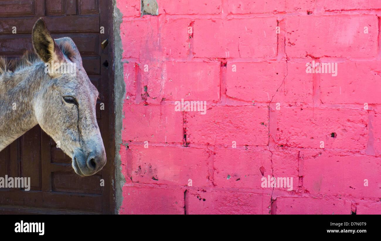 Burro y pared rosa. Ciudad de Barú, Isla de Barú, cerca de la ciudad de Cartagena de Indias, Colombia Imagen De Stock