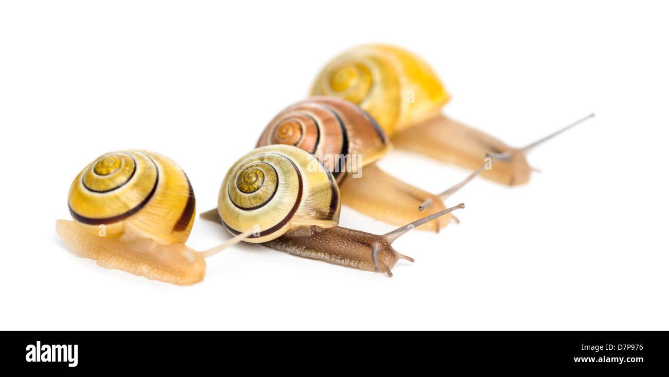 Grove caracoles o marrón con labio de caracoles, Cepaea nemoralis, carreras delante de un fondo blanco. Imagen De Stock