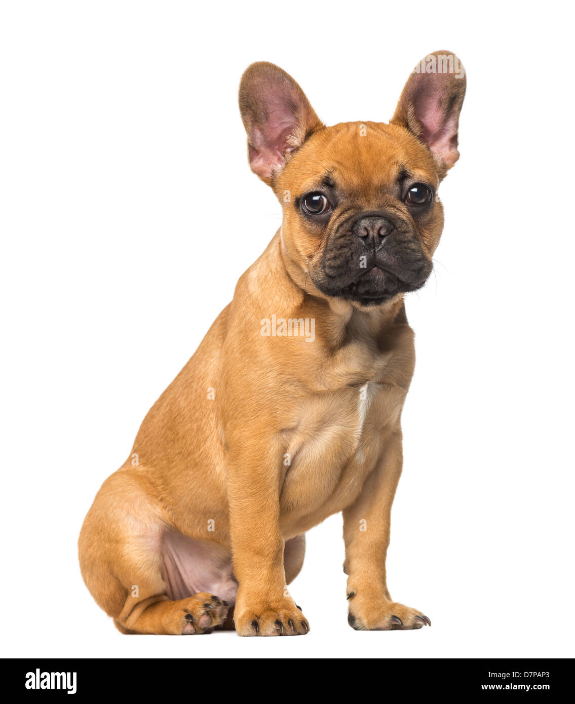 French Bulldog Puppy Old Sitting Fotos E Imagenes De Stock Alamy