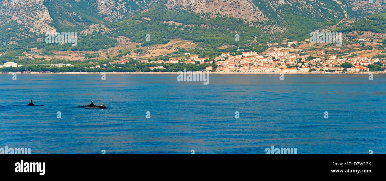 Delfines visto cerca de la isla de Brac en la costa Dálmata, Adriático, Croacia Imagen De Stock