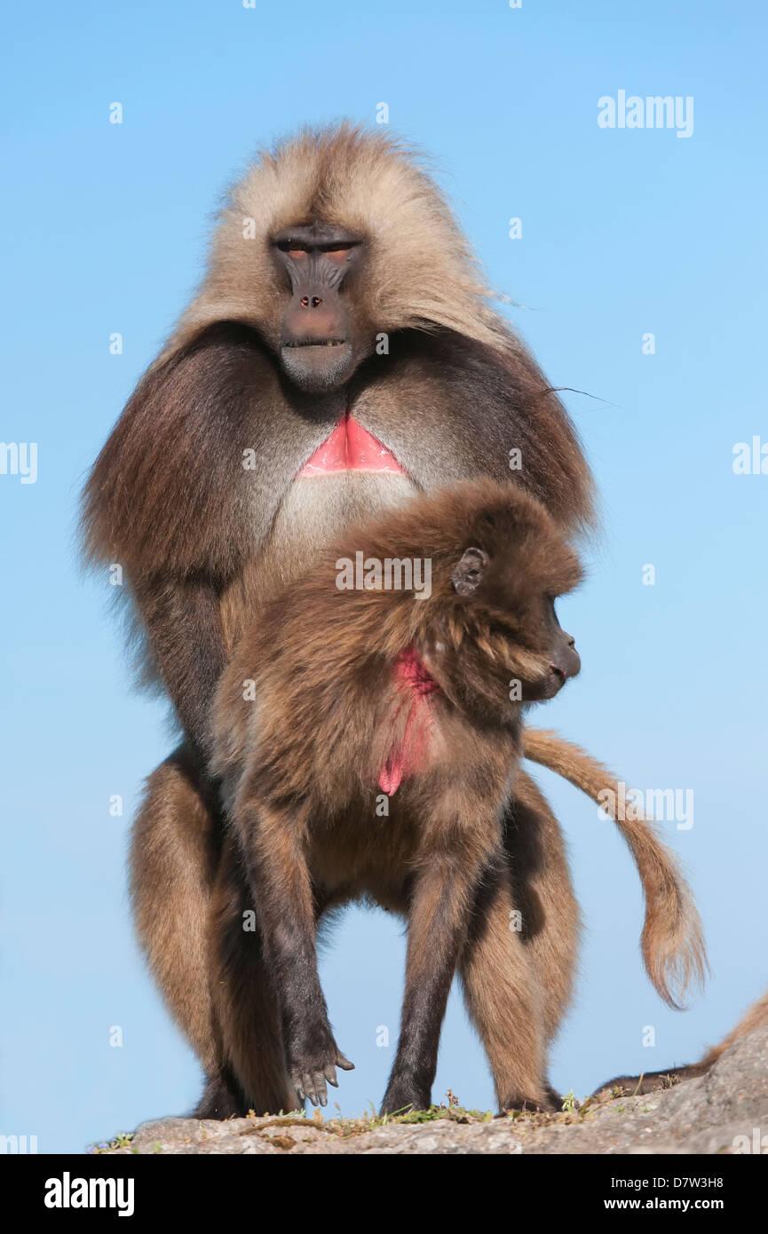 Apareamiento babuinos Gelada (Theropithecus Gelada), Parque Nacional de las montañas Simien, región de Imagen De Stock