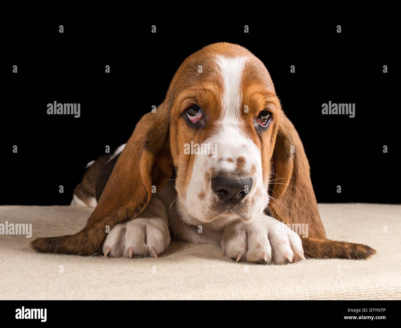 Tri-color cachorro Basset Hound acostada mirando triste Imagen De Stock
