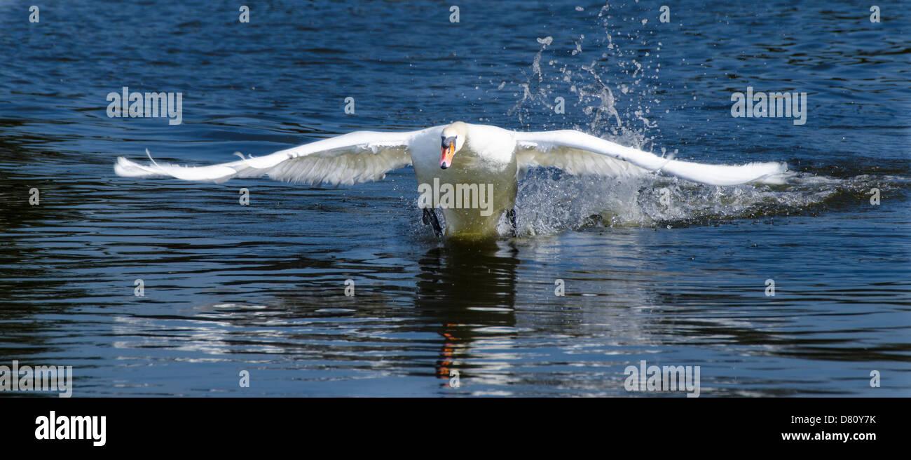 Vista frontal de un adulto Cisne Blanco volando sobre el agua. Imagen De Stock