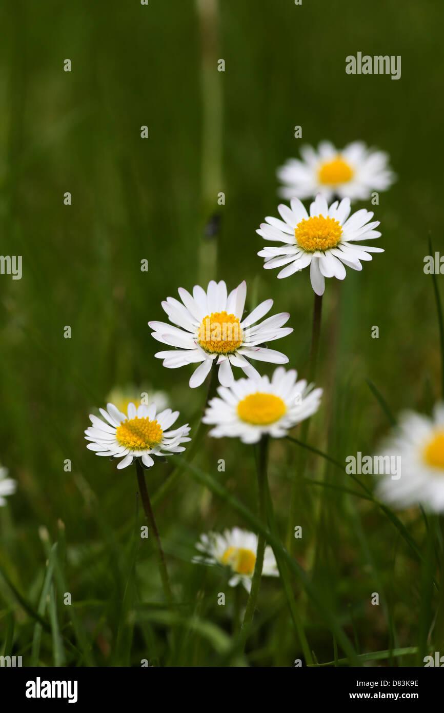 Grupo de margaritas en hierba común Imagen De Stock