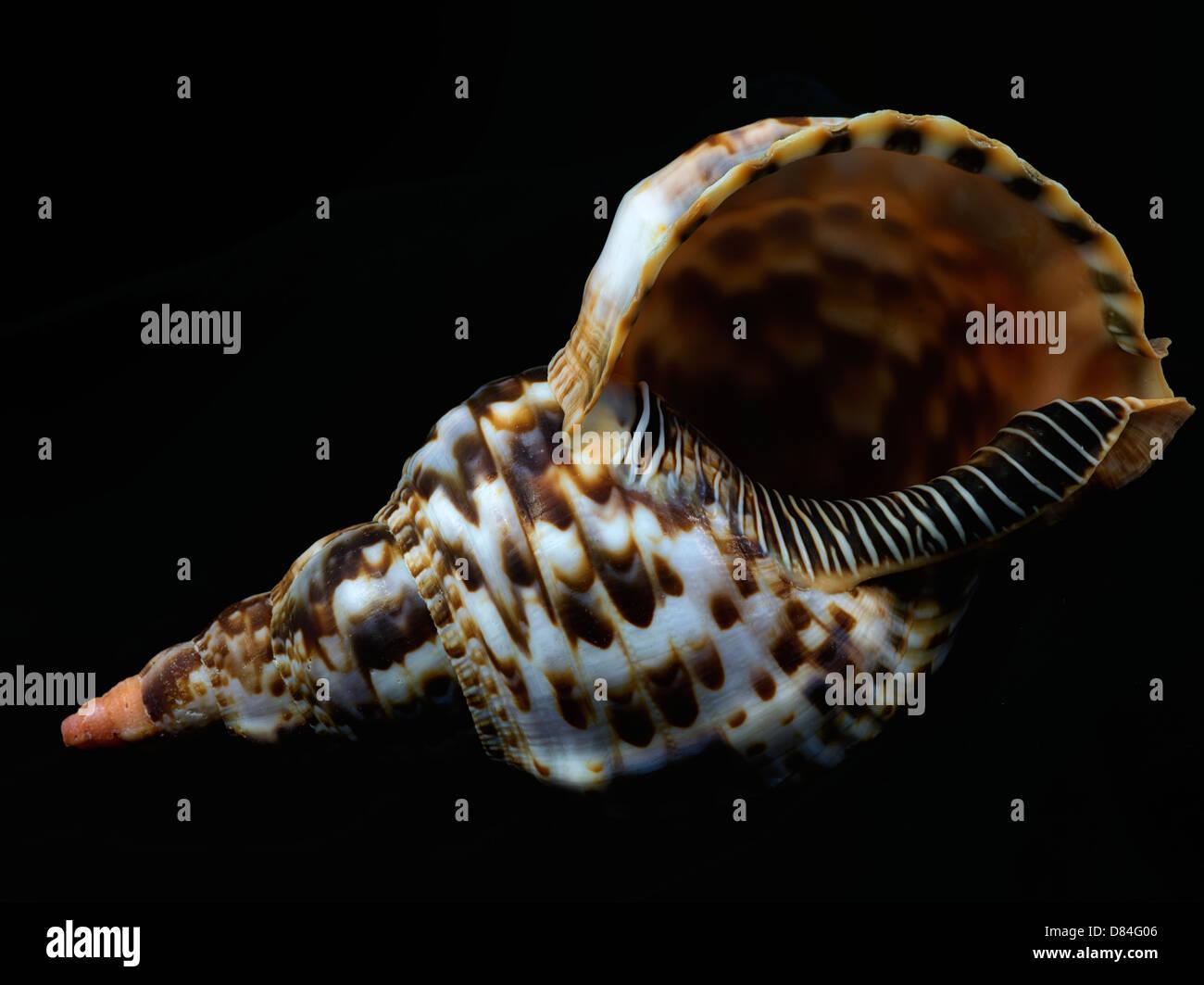 Cerca de Noble Tritón conchas marinas. Imagen De Stock