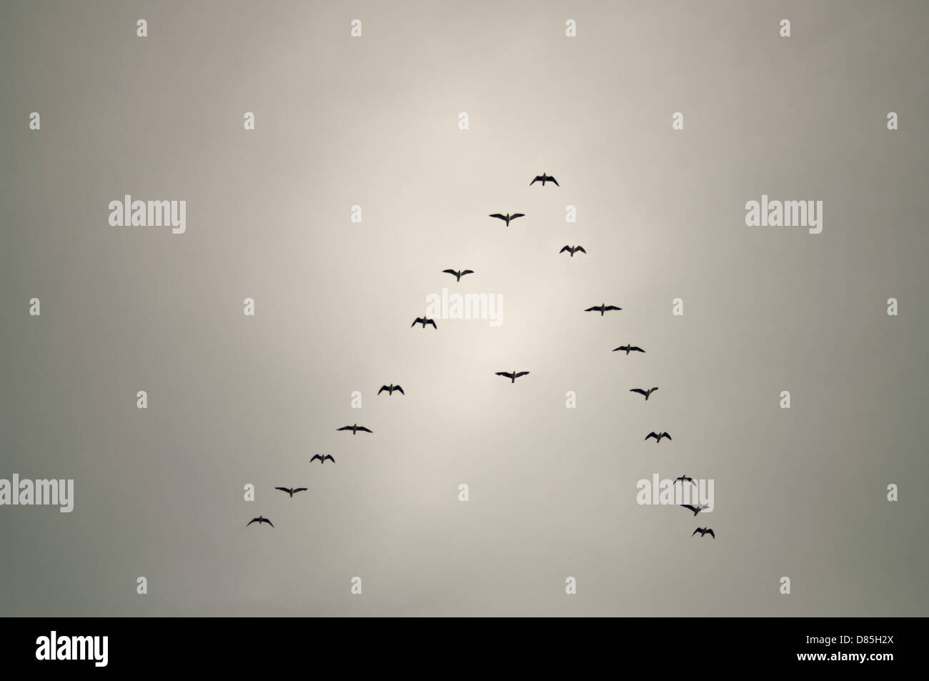 Aves en formación de flecha con un pájaro fuera de línea conceptual Imagen De Stock
