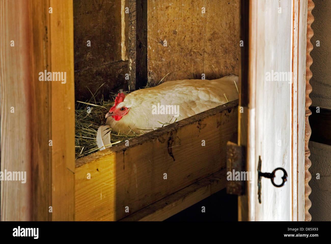Cría de pollos en nido construído en el ropero en la granja Foto de stock