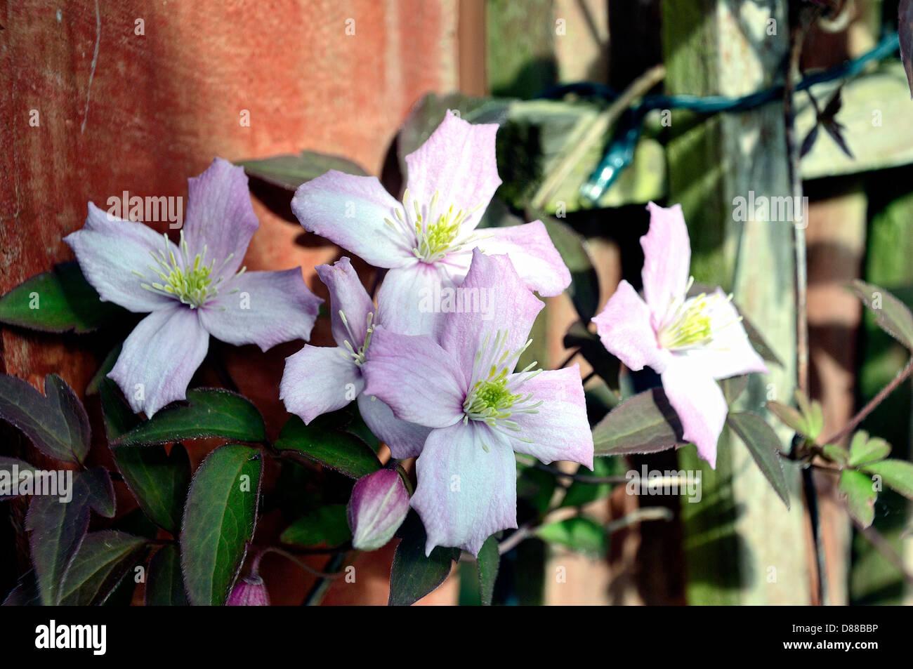 Clematis 'Perfección' rosa (Clematis montana var. rubens) Rosa Perfección' produce hermosas Imagen De Stock