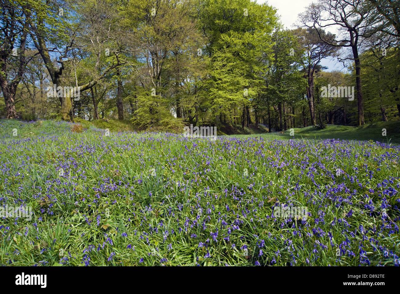 Las campánulas azules florecimiento Blackbury Camp, una edad de hierro Devon fort, con bosques de hayas y robles Imagen De Stock