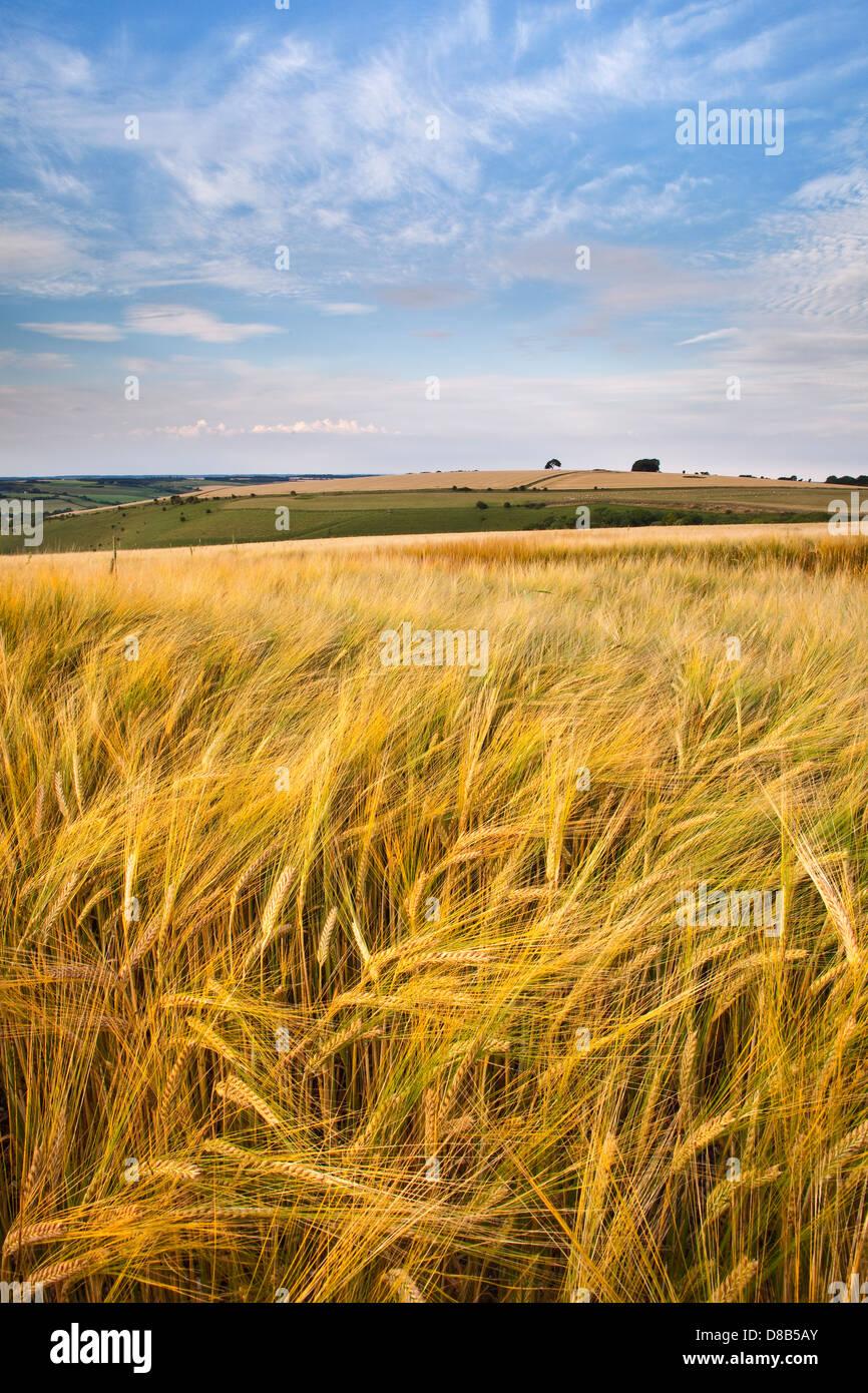 Una vista de Pincombe abajo en Wiltshire con cebada maduros crecen en el primer plano y el cielo azul Imagen De Stock