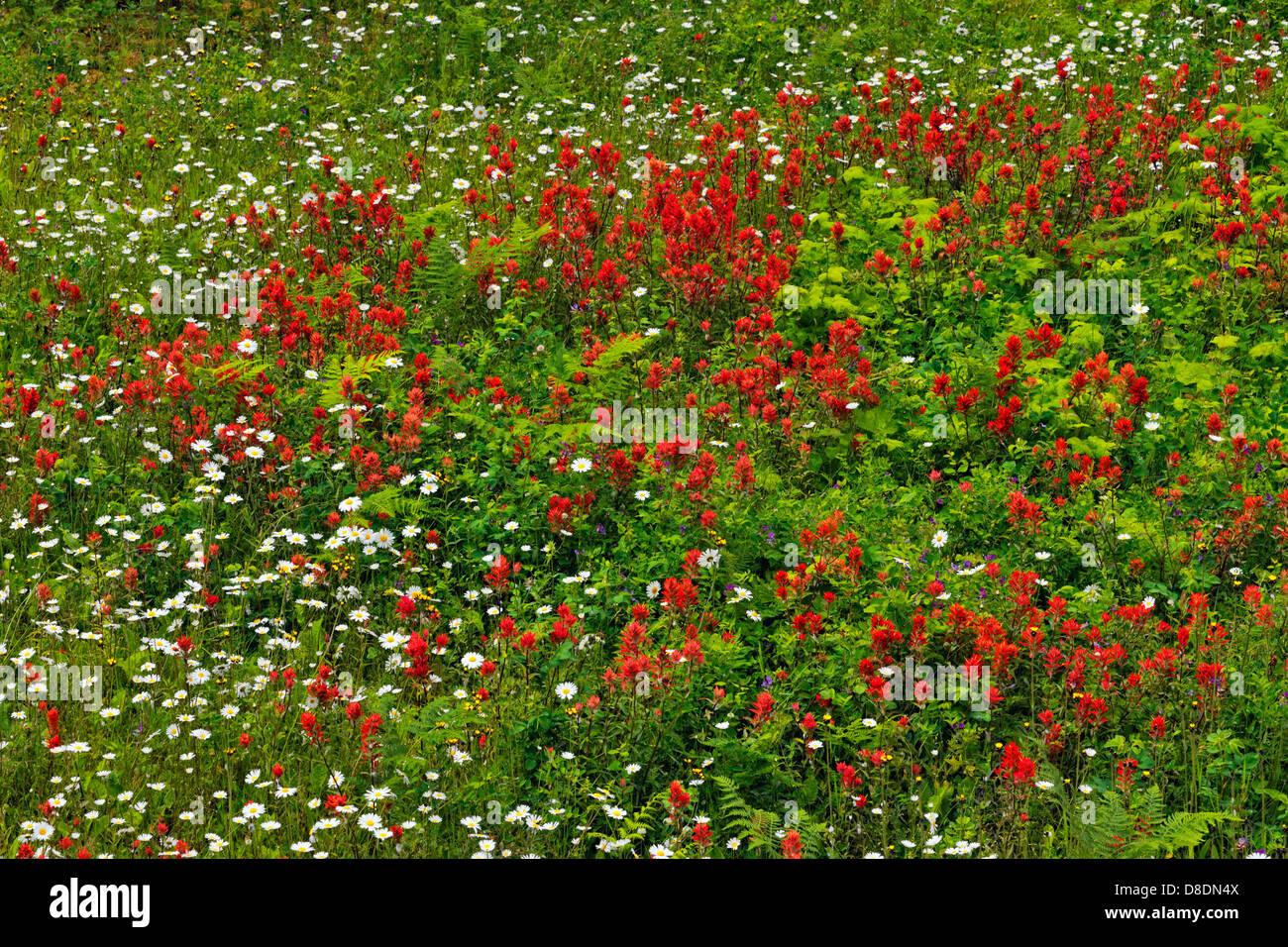 Flores silvestres en la carretera- pincel común y margaritas Terraza British Columbia Canadá Imagen De Stock