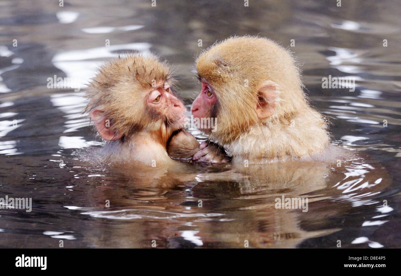 Monos de nieve japonés (macacos) en Nagano, Japón. Imagen De Stock
