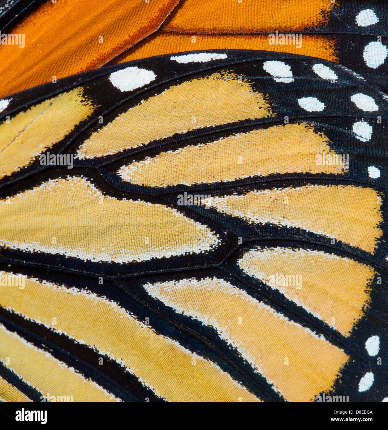 Mariposa monarca (Danaus plexippus) Detalle de ala, Florida, EE.UU.. Imagen De Stock