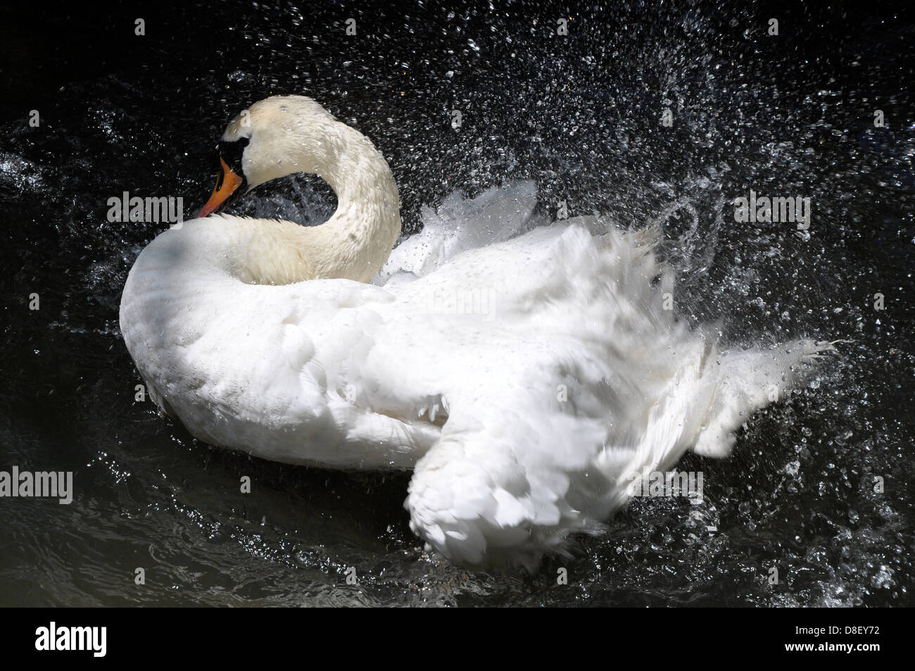 Limpieza de aleteo de cisne (Cygnus olor), Abbotsbury Swannery, Dorset Imagen De Stock