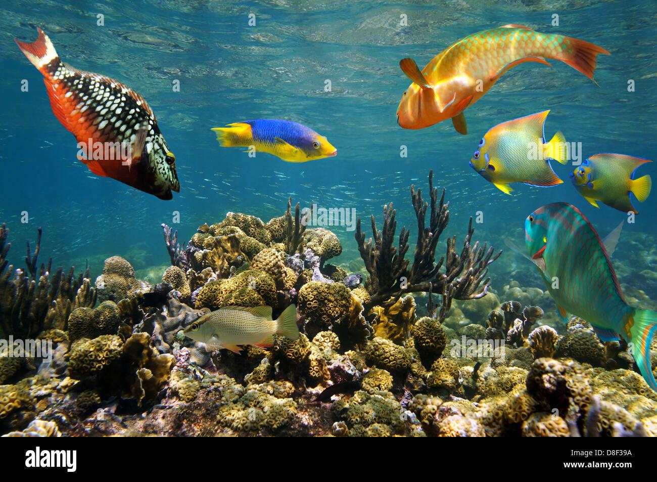 Arrecifes de coral sanos con coloridos peces justo debajo de la superficie del agua, mar Caribe Imagen De Stock