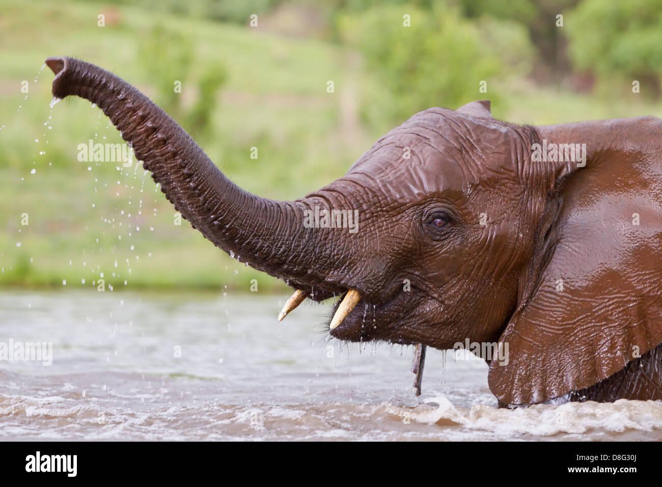 Elefante africano (Loxodonta africana) ternera joven jugando en el agua.Sudáfrica Foto de stock