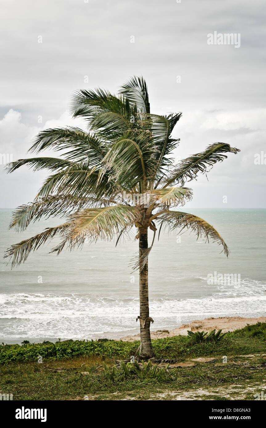 Palm Tree, Praia do Amor, Pipa, Rio Grande do Norte, Brasil Imagen De Stock