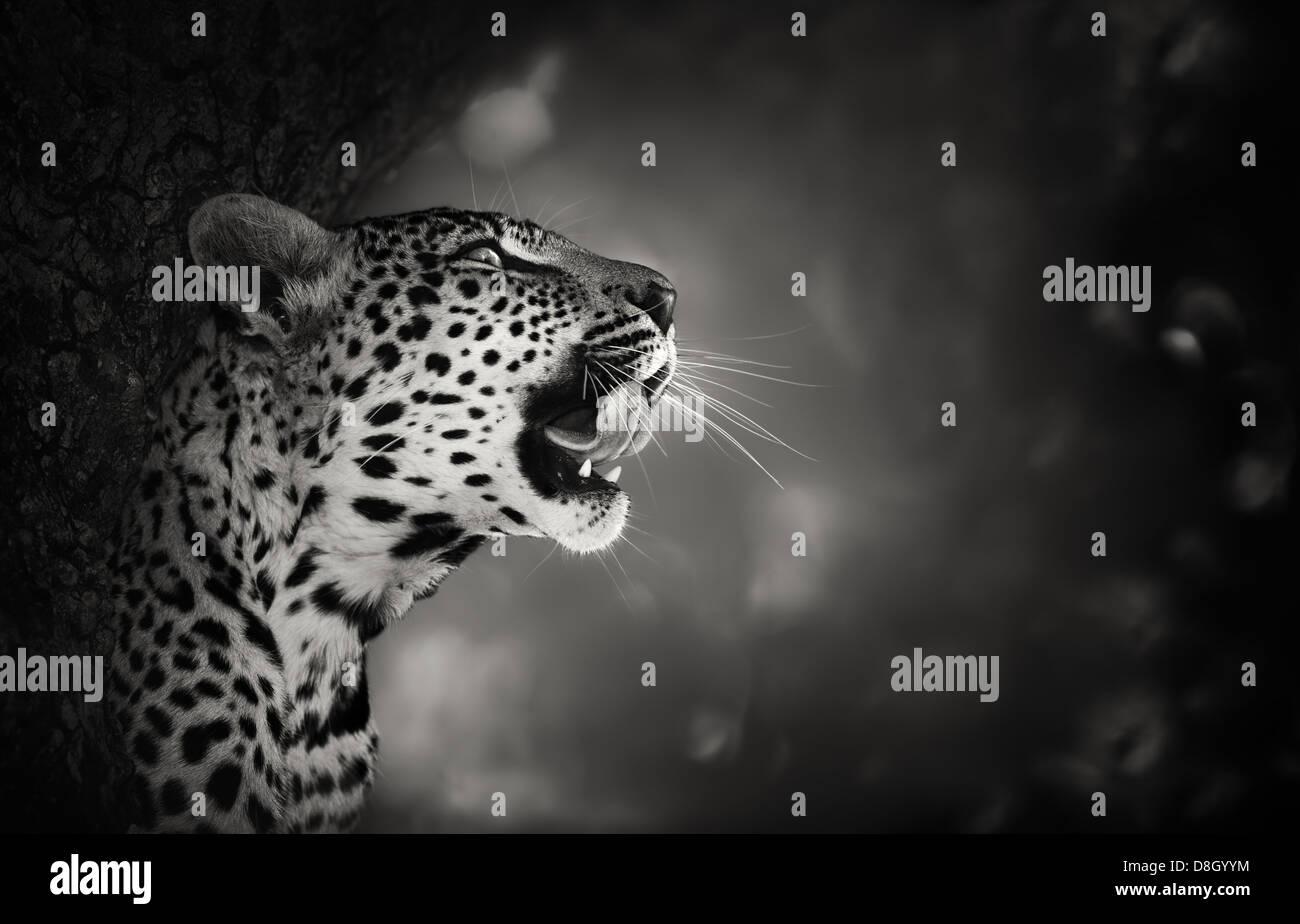 Retrato de leopardo (procesamiento artístico) - Parque Nacional Kruger - Sudáfrica Imagen De Stock