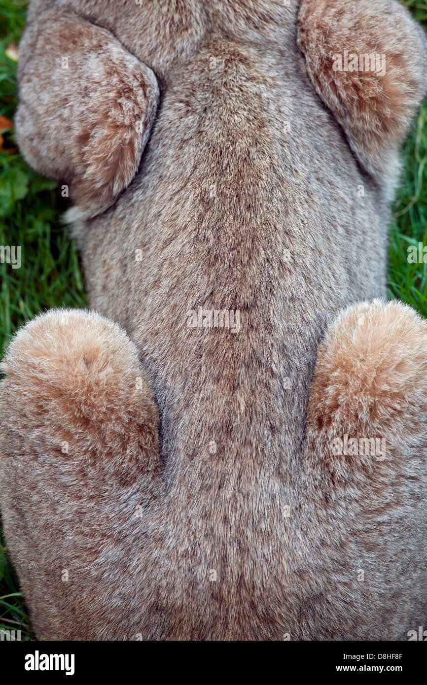 Vista superior sobre pieles de lince eurásico (Lynx lynx) Imagen De Stock