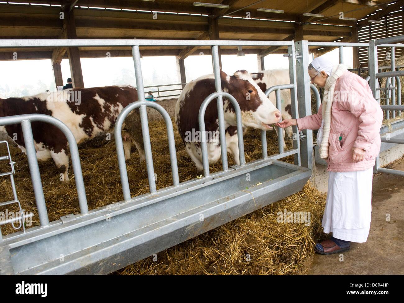 """Gokul pix y lácteos copyright Nick Cunard el Hare Krishna manada de 44 vacas y bueyes en George Harrison's mansión en Hertfordshire, es tan tranquilo como un templo. Gokul Dairy Farm [significado lugar de vacas ] comprende 44 vacas y bueyes parte de George Harrison's mansión Bhaktivedanta Manor en Hertfordshire . Una £2.5m 'protegidas' complejo de vaca se la ha denominado una """"Hilton"""" para las vacas y un plan sostenible para la producción lechera. Los 3.000 metros cuadrados de edificio que es el hogar de invierno de la manada, es un cruce entre un vivero, un workhouse y una casa de vacas viejas. Aunque no está a la venta al público los costes de TI Foto de stock"""