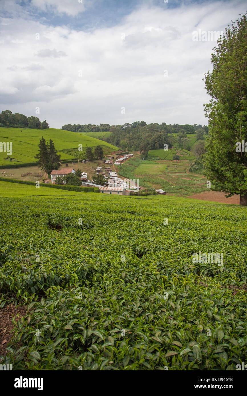 Falda de hojas de té verde en Kenia África Imagen De Stock