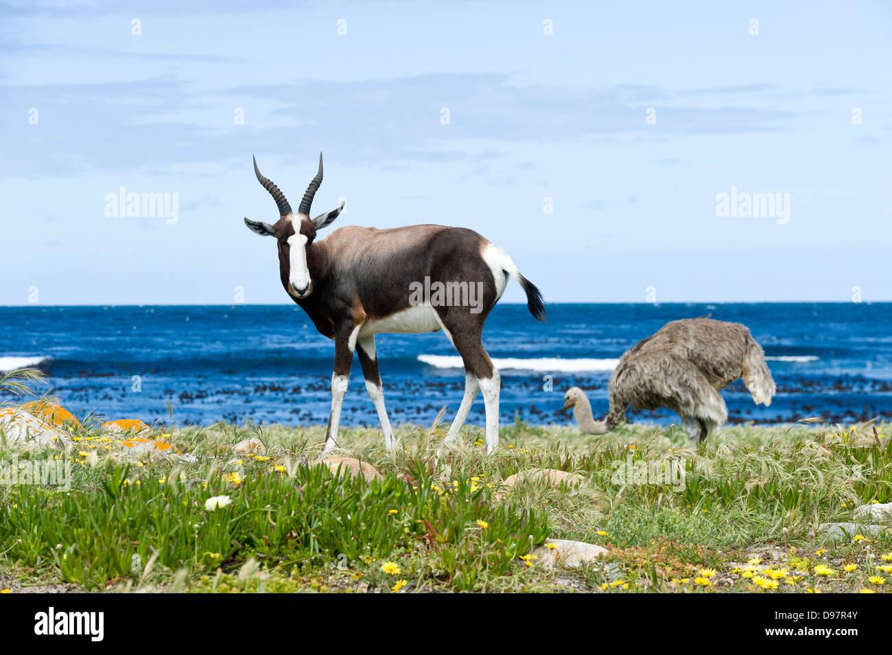 Bontebok (Damaliscus pygargus pygarus) y hembra avestruz (Struthio camelus), Cabo de Buena Esperanza, Western Cape, Imagen De Stock