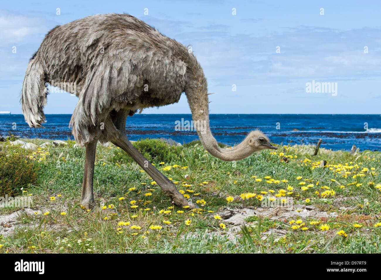 Hembra de avestruz (Struthio camelus), Cabo de Buena Esperanza, Western Cape, Sudáfrica Imagen De Stock