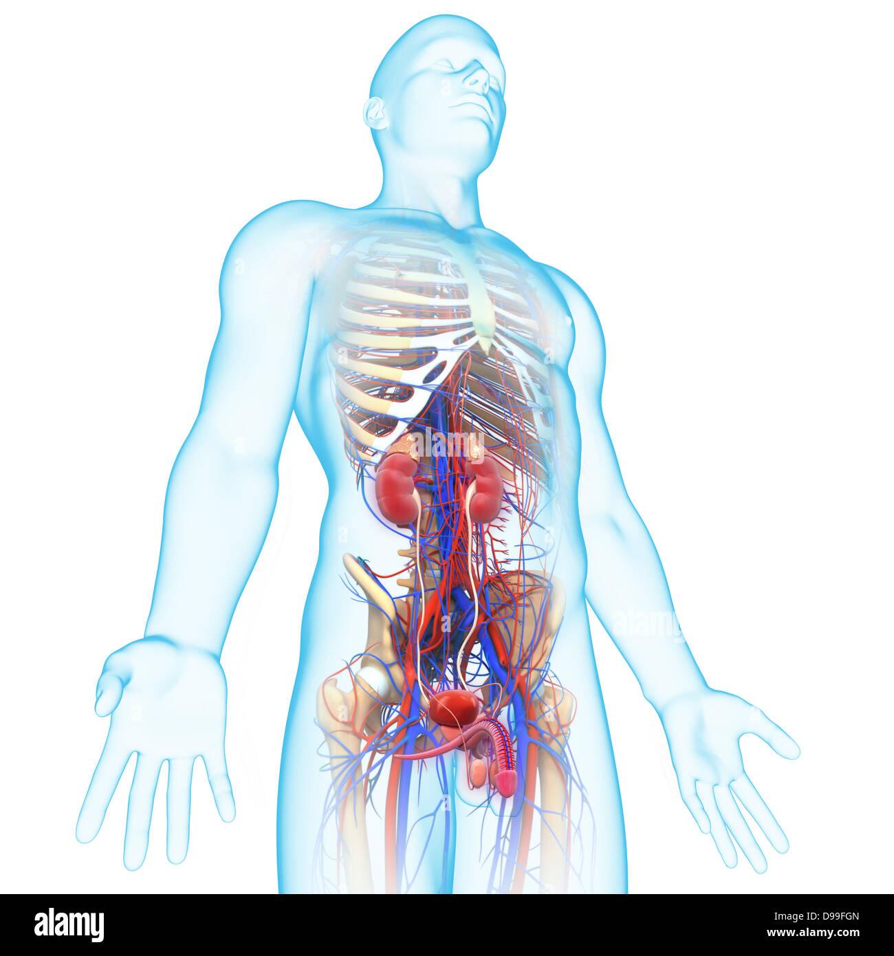 Urinary System Imágenes De Stock & Urinary System Fotos De Stock ...