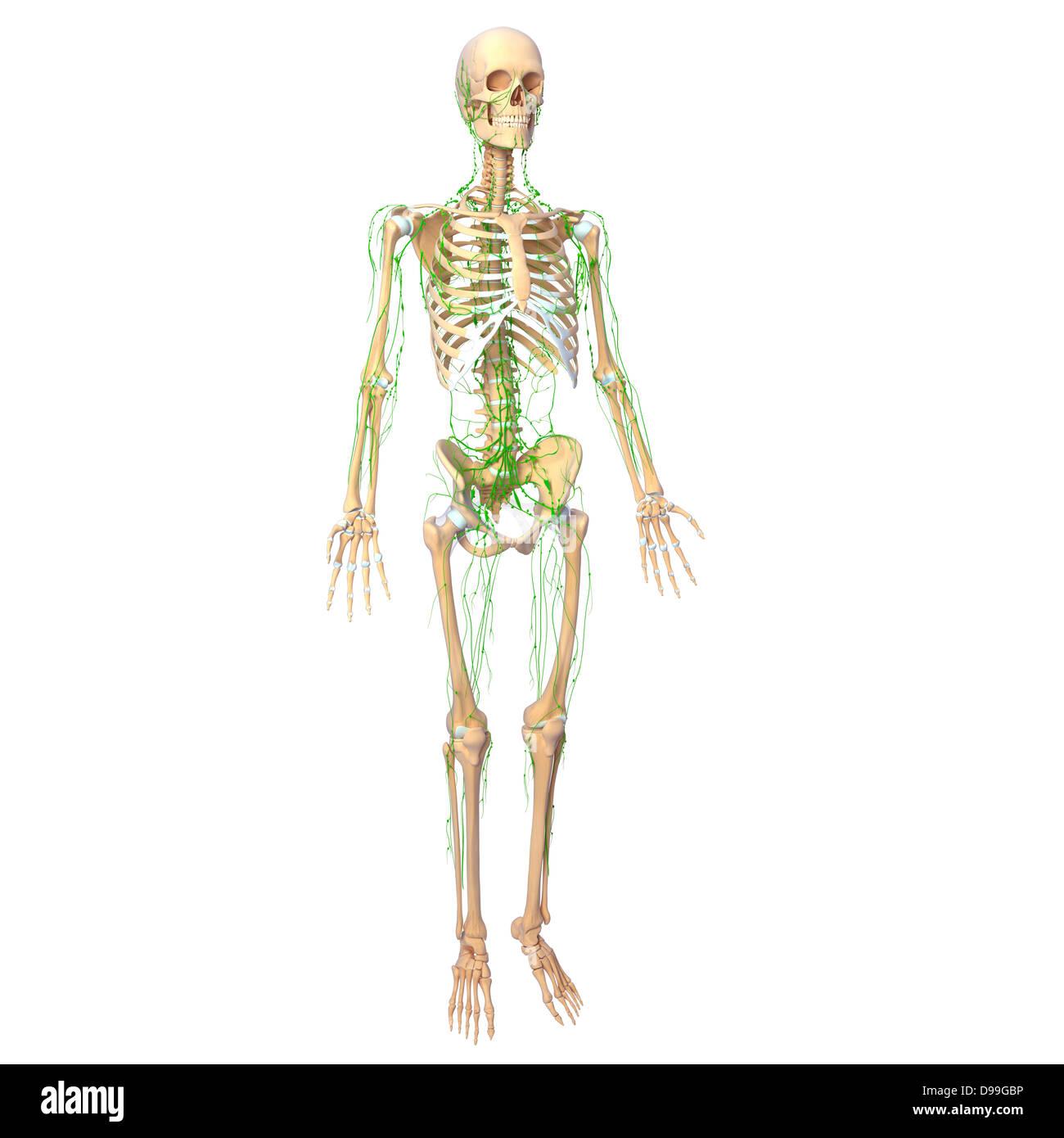 Lymph System Imágenes De Stock & Lymph System Fotos De Stock - Alamy
