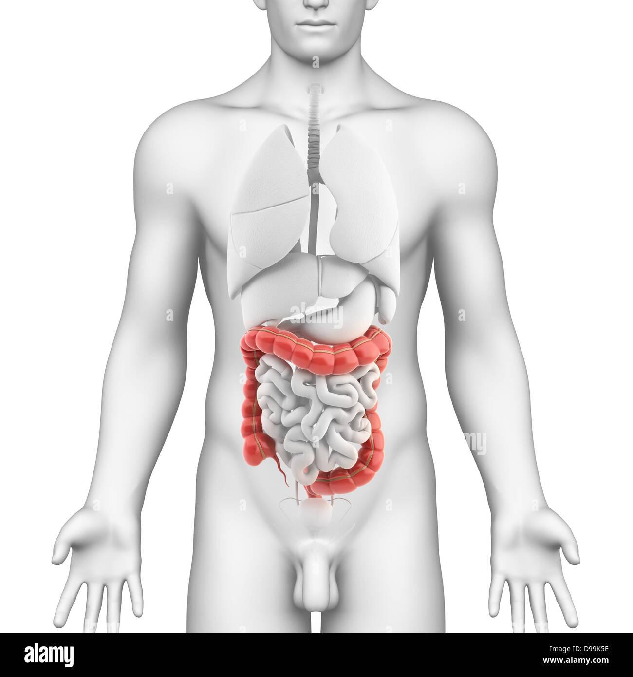 Anatomía del intestino delgado macho Foto & Imagen De Stock ...