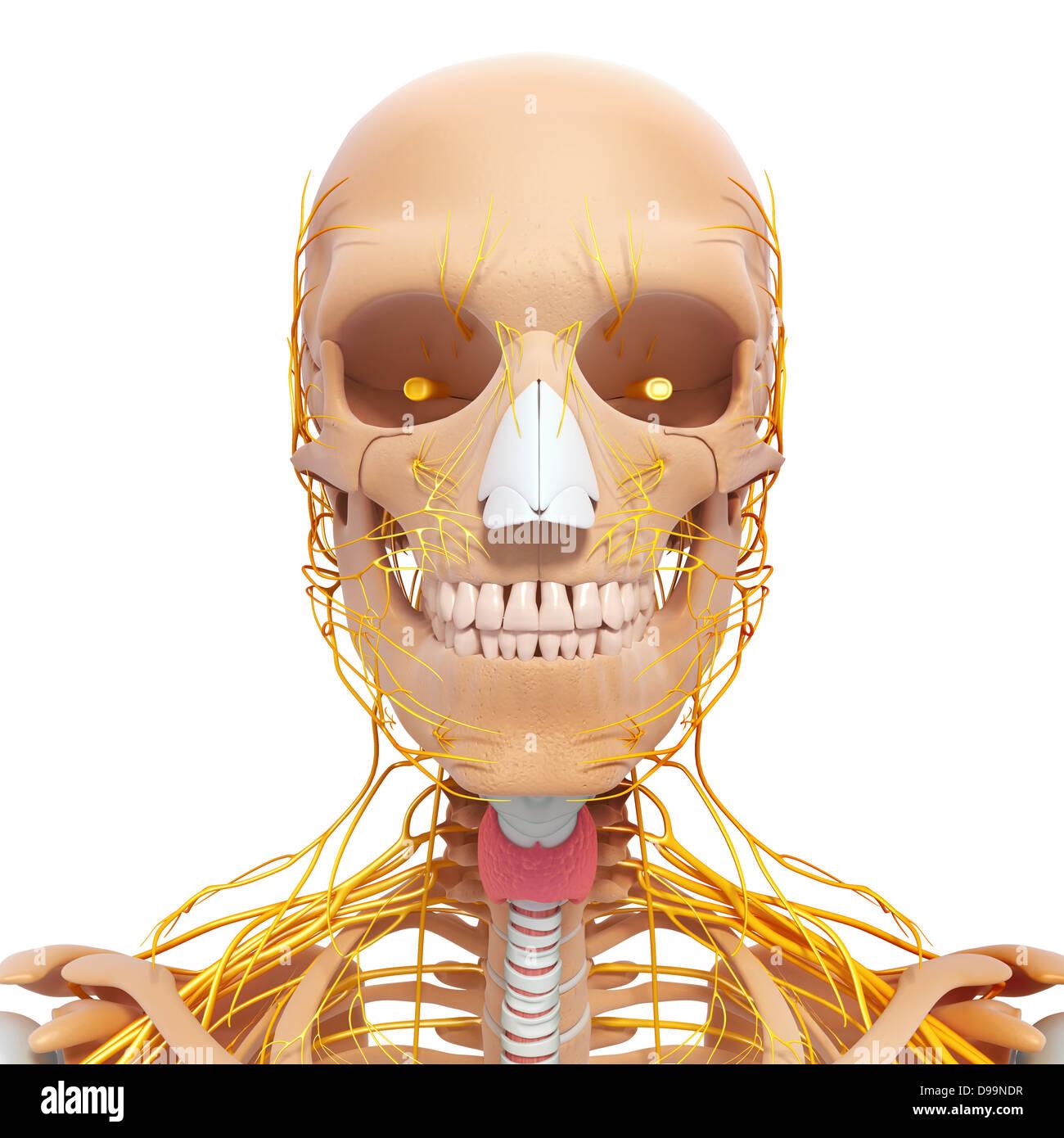 Lujoso Ct Anatomía Cabeza Cresta - Anatomía de Las Imágenesdel ...