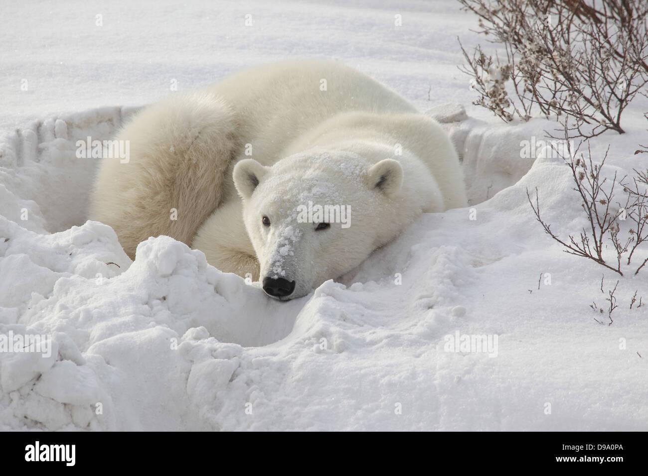 La hora de la siesta del oso polar Imagen De Stock