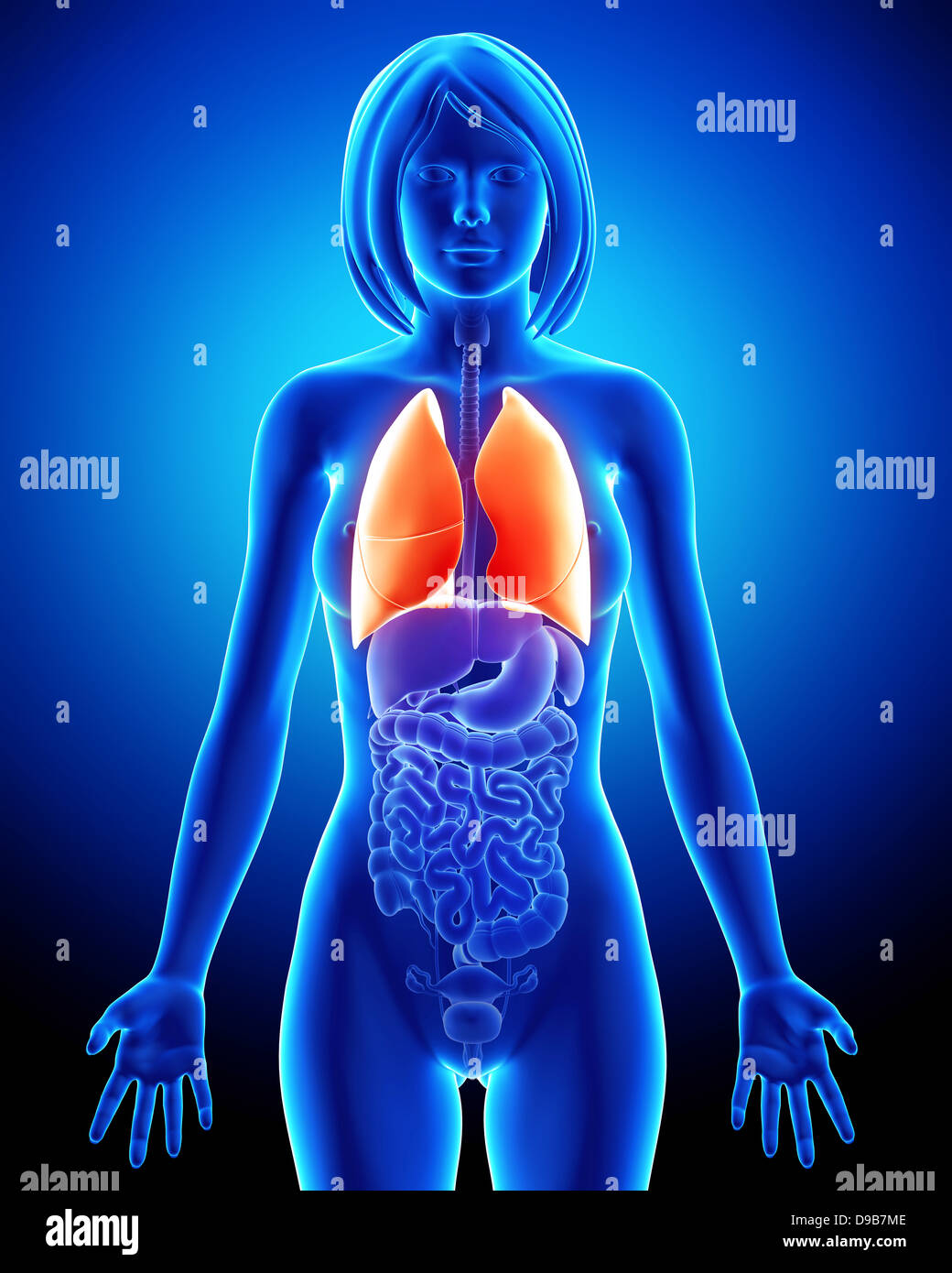 Organs Of The Respiratory System Imágenes De Stock & Organs Of The ...