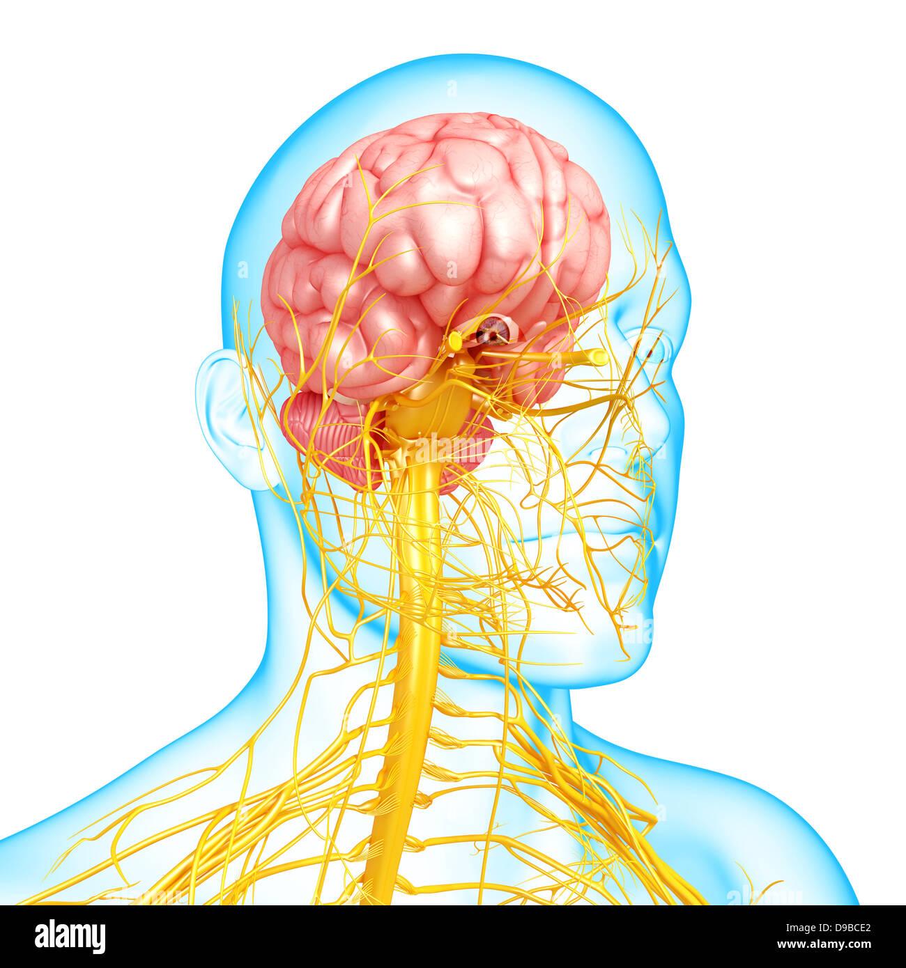 El sistema nervioso de cabeza humana anatomía en forma de rayos x ...