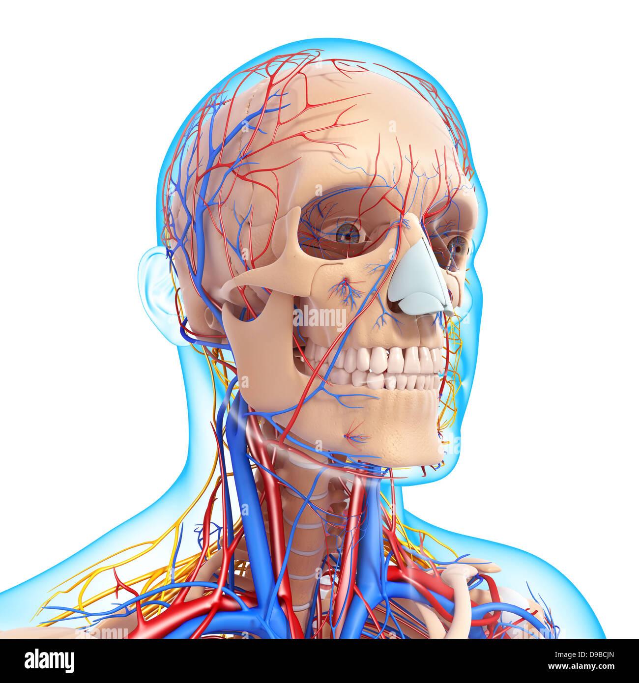 Circulatory System Imágenes De Stock & Circulatory System Fotos De ...