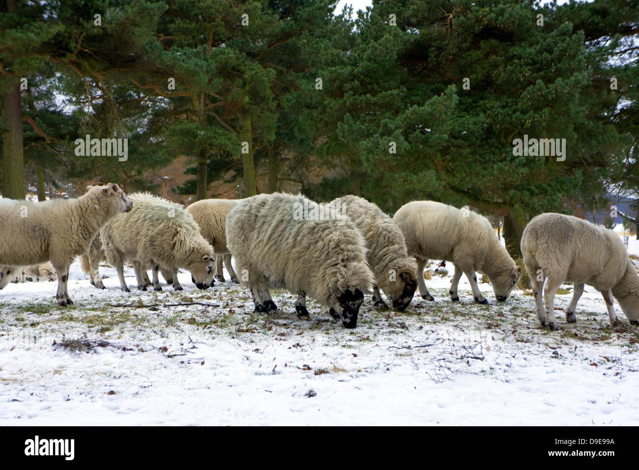 La cría de ovejas en la ladera de Peak District en invierno. Imagen De Stock