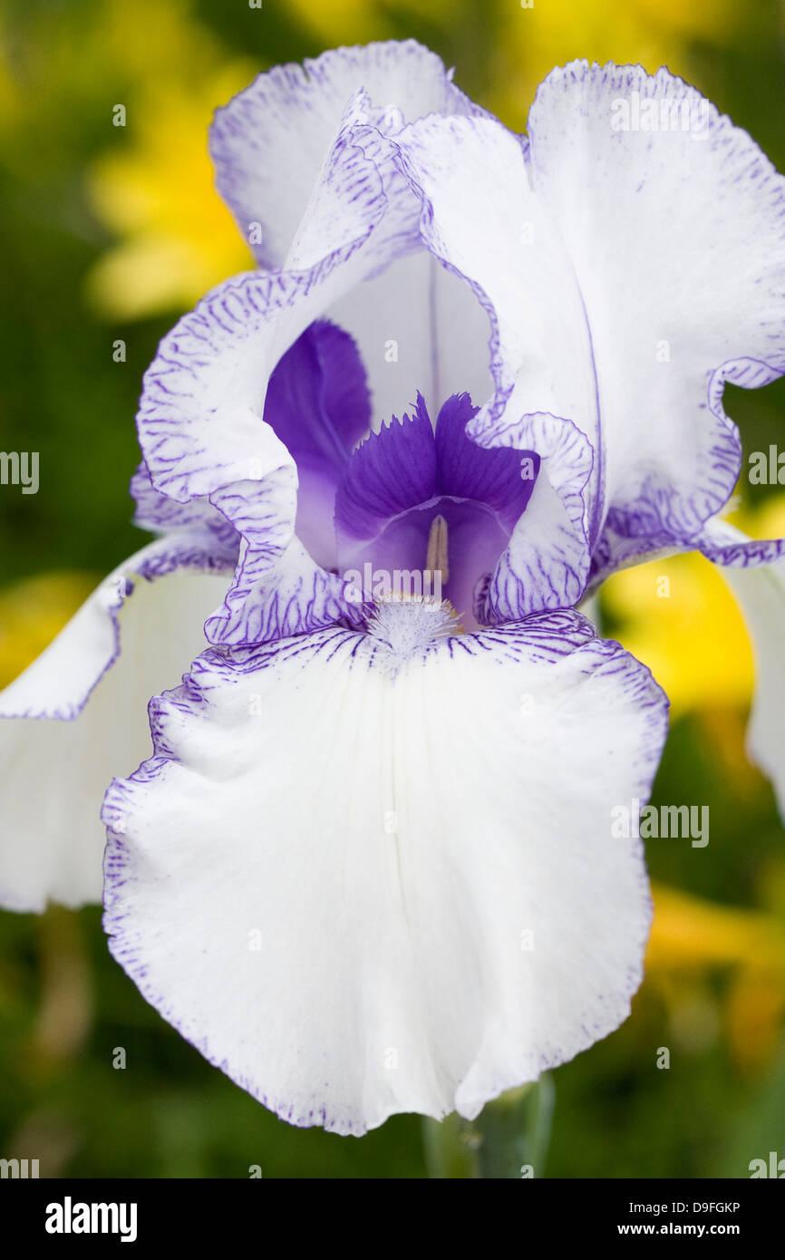 Iris barbado 'Violet' flor impalpable. Foto de stock