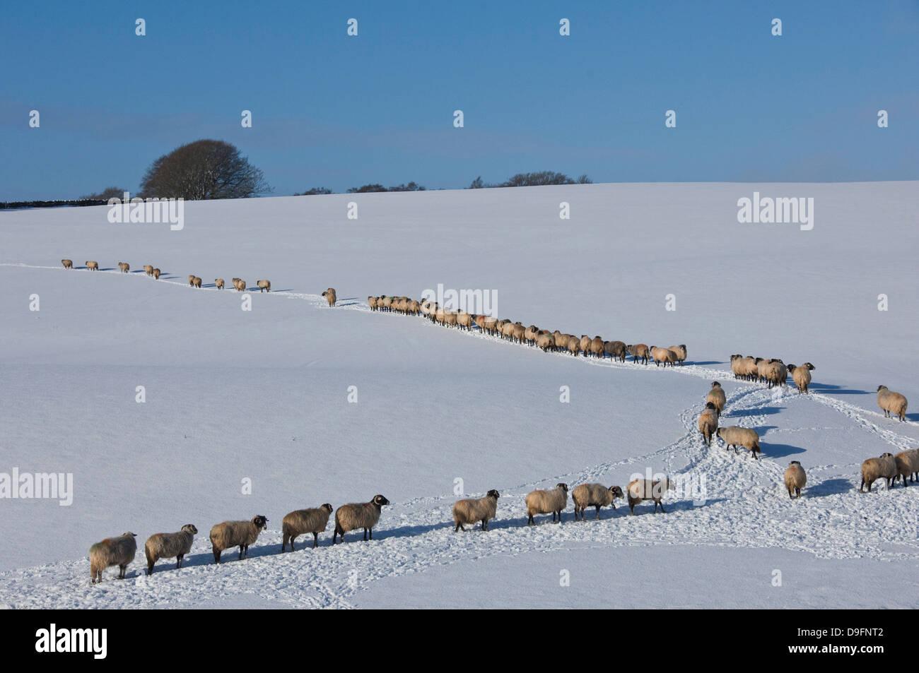 Un archivo de ovejas a través de la nieve, Los Peninos inferior, Eden Valley, Cumbria, Inglaterra, Reino Unido. Imagen De Stock