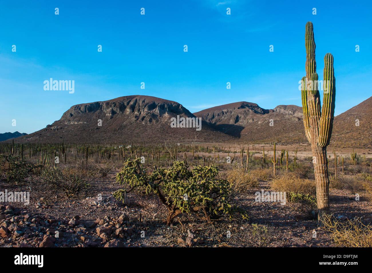Cactus árboles en el campo, cerca de la Paz, Baja California, México Imagen De Stock
