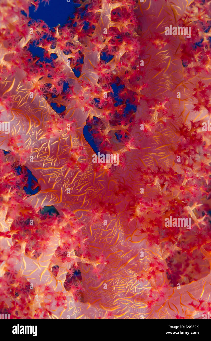 Macro shot de tallo y ramas de coral rosa suave brócoli, el Parque Nacional de Ras Mohammed, el Sinaí, Imagen De Stock