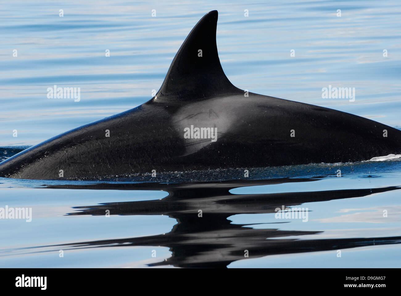 Muy buen ejemplo para los llamados Orca transitoria (el mamífero marino que comer tipo) con su aleta dorsal Imagen De Stock