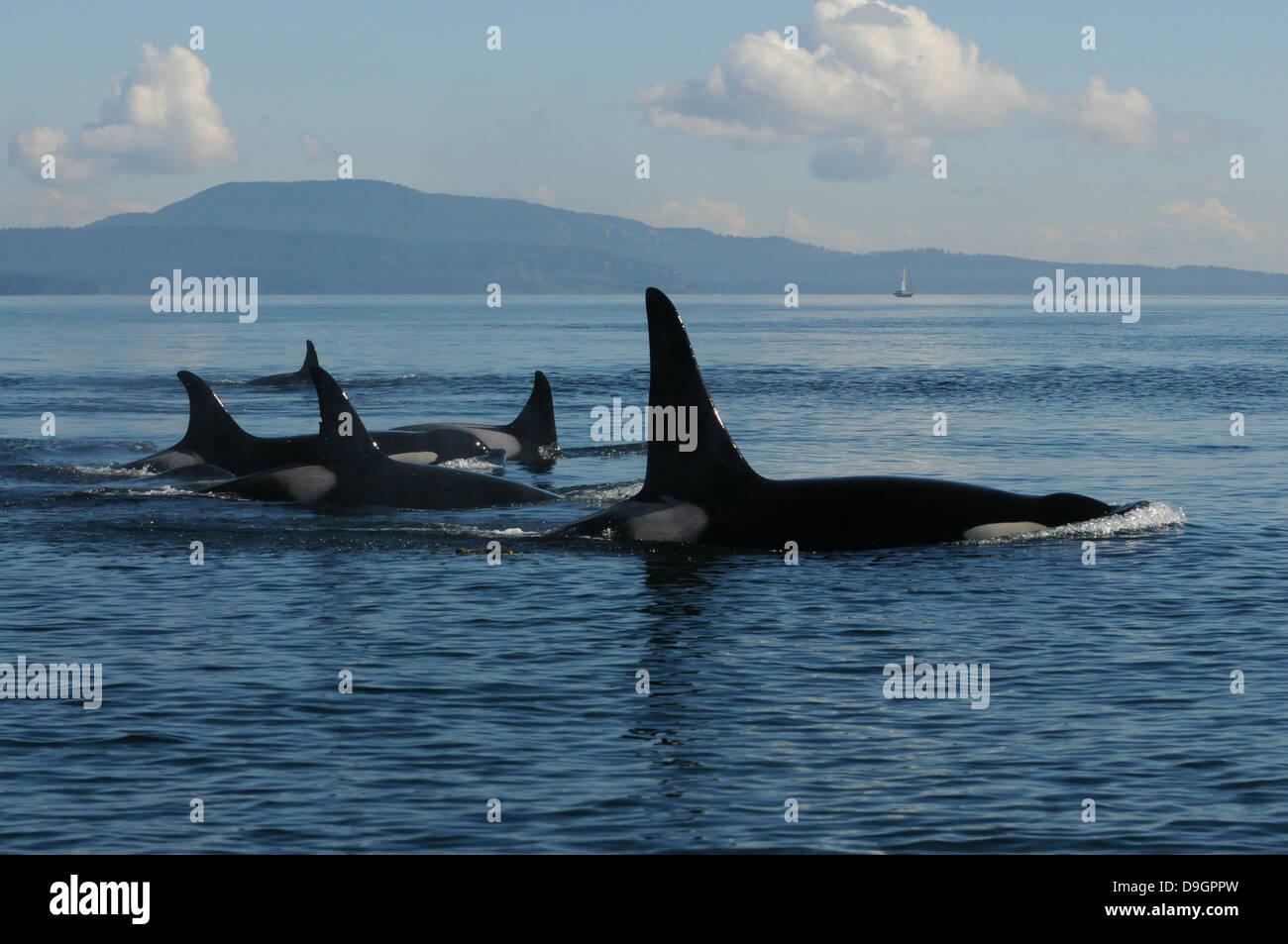 Un grupo familiar de orcas viaja a través del Estrecho de Haro (WA, EE.UU.) Foto de stock