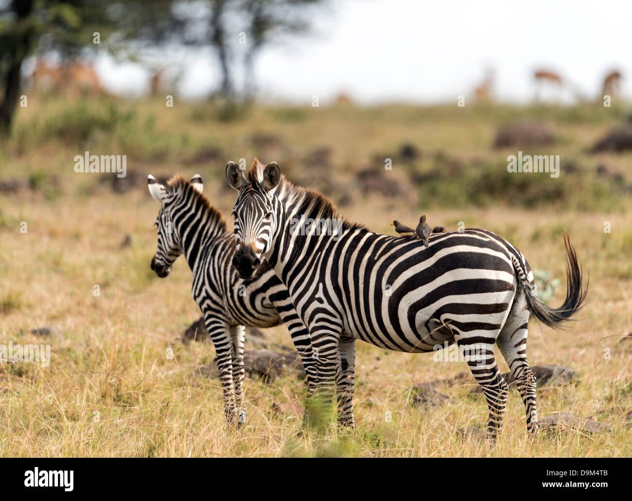 Las cebras (Hippotigris) con las aves en la espalda Masai Mara Kenia África Imagen De Stock
