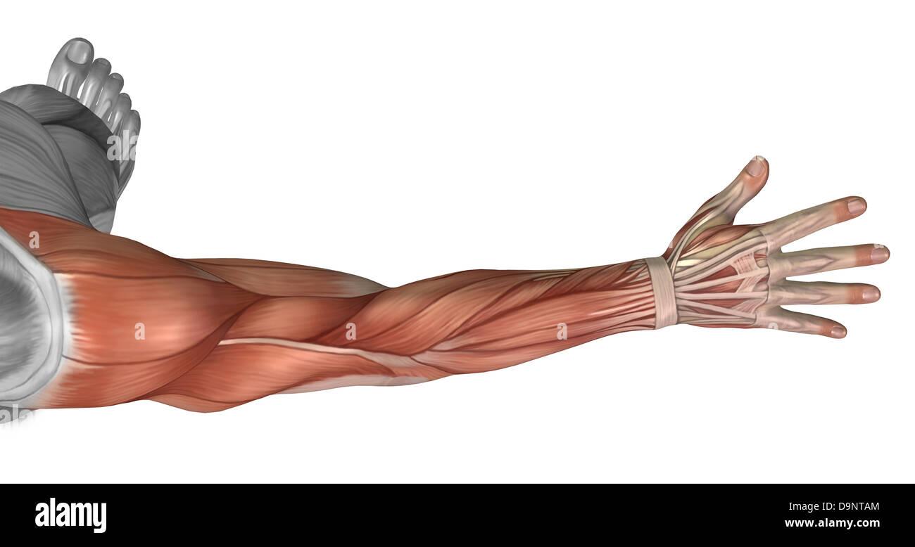 Anatomía muscular del brazo humano, vista posterior. Imagen De Stock